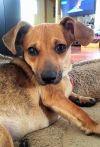 Dachshund Dog: Darby #4 in WI  (Dachshund/Chihuahua Mix)
