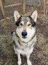 German Shepherd Dog Dog: Kylo