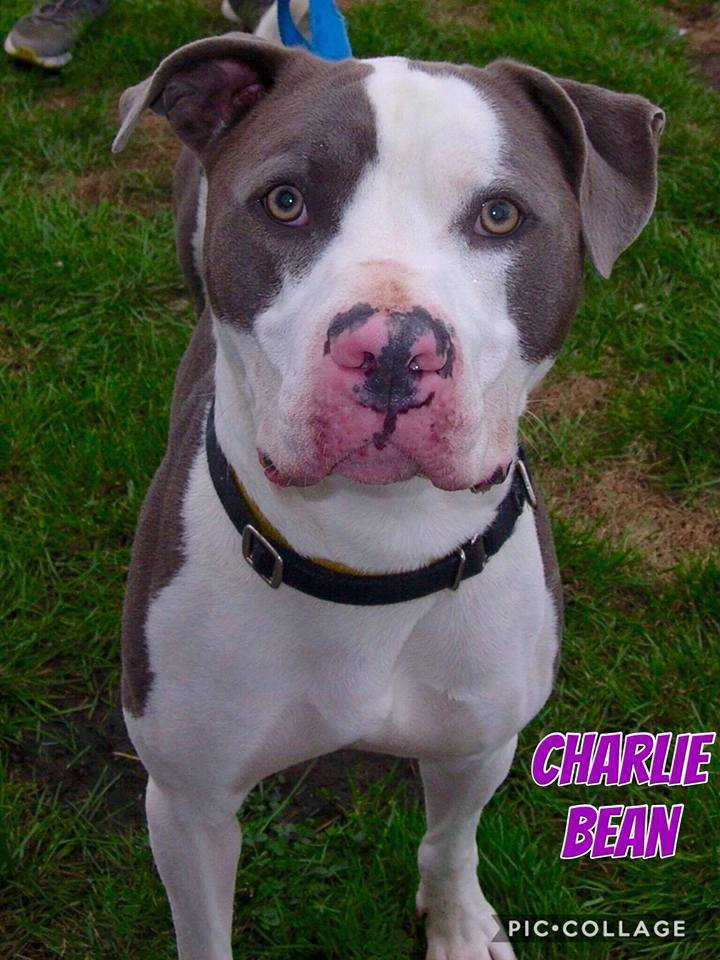 Charlie Bean, an adopted Mixed Breed in Utica, NY