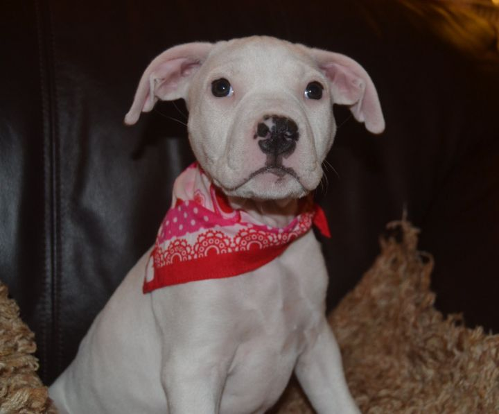 Nettie, an adopted American Staffordshire Terrier & Pit Bull Terrier Mix in Saint Paul, MN