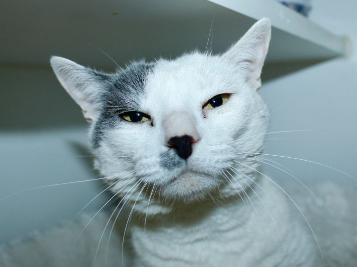 Snowball, an adopted Domestic Short Hair in Grass Valley, CA