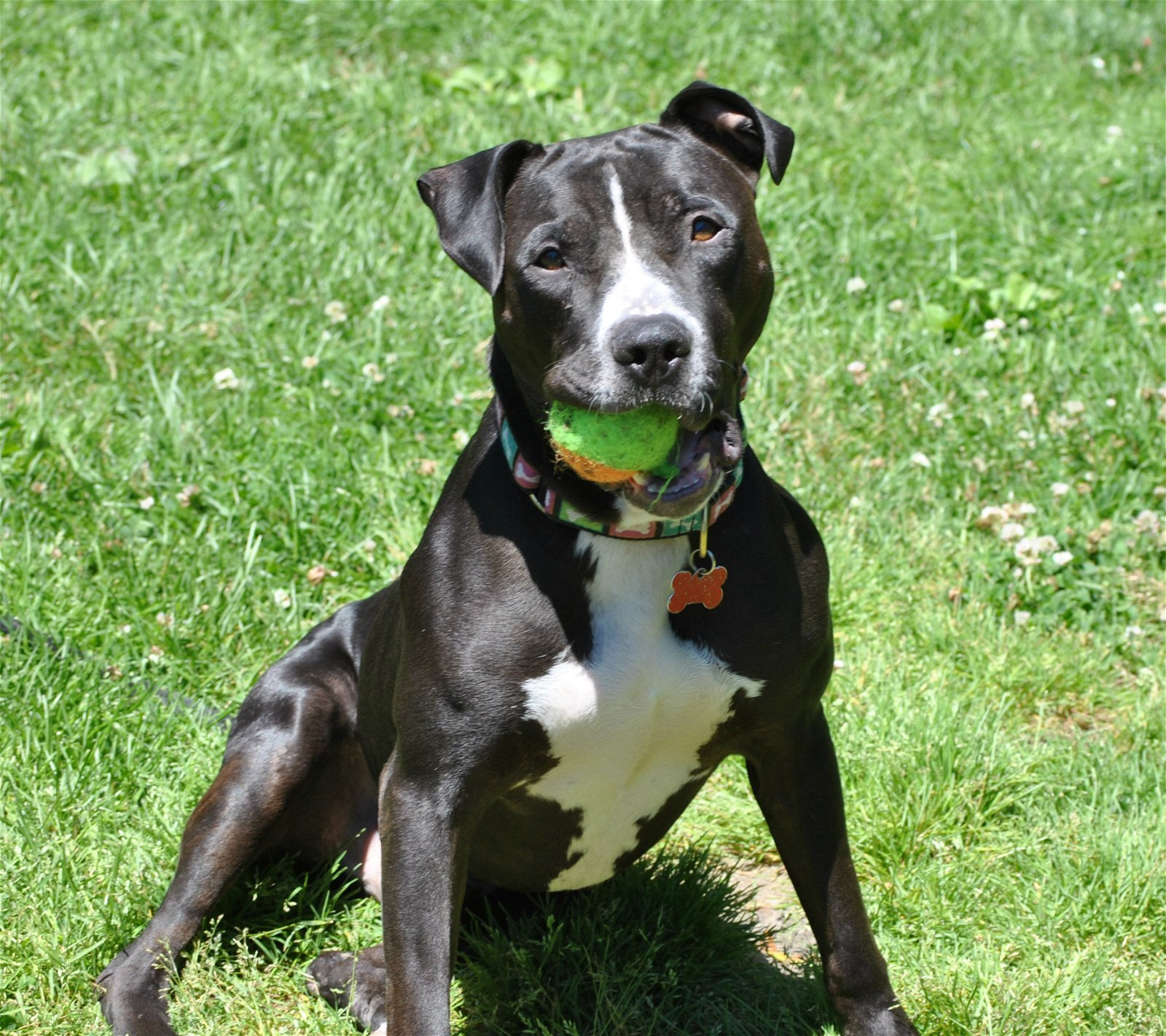 Dog For Adoption Freddie A Boxer Staffordshire Bull Terrier Mix In Spring Lake Nj Petfinder