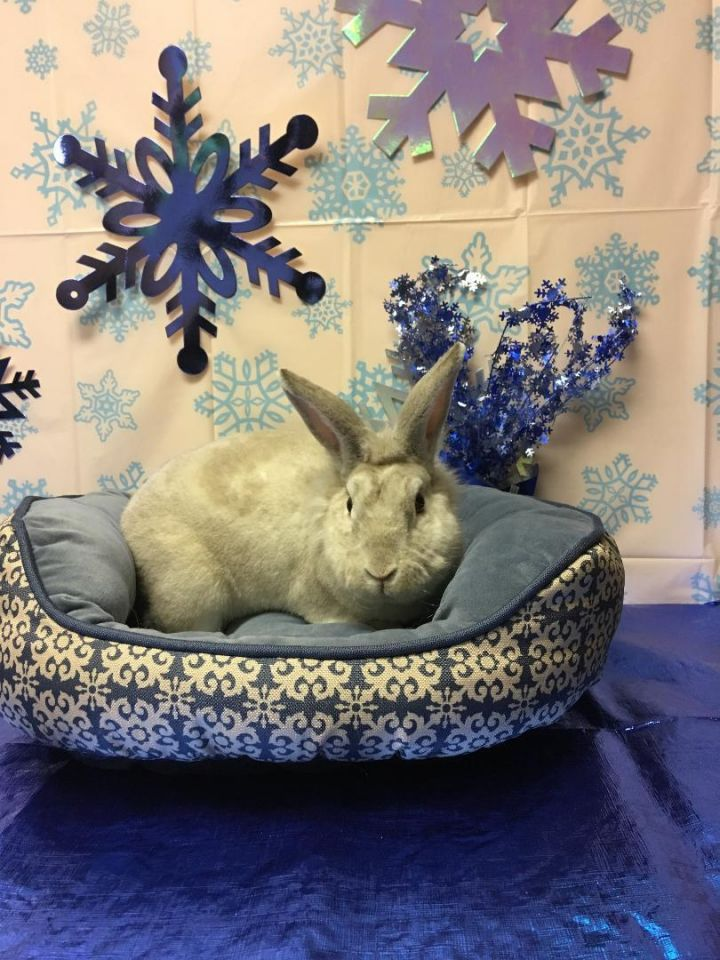 Cinnamon Sugar (Sug), an adoptable Rex & Lionhead Mix in Youngstown, OH