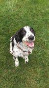 English Springer Spaniel Dog: Lola