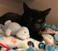 Magic, an adopted Domestic Short Hair in Danbury, CT