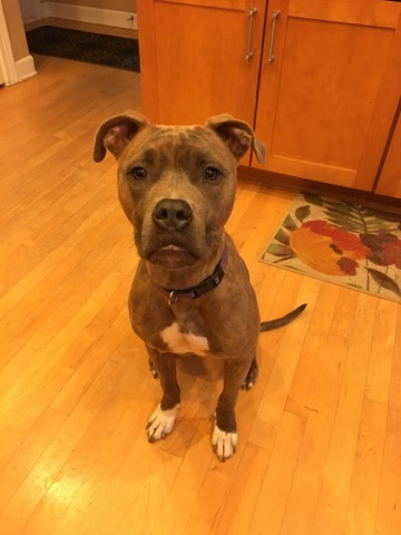Jake Ryan, an adoptable Pit Bull Terrier & Boxer Mix in Plainfield, IL