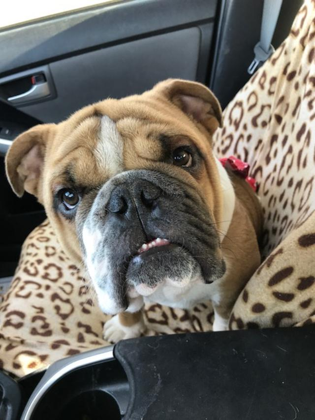 Sumo, an adopted English Bulldog in Santa Ana, CA
