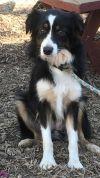 Australian Shepherd Dog: Twinkle