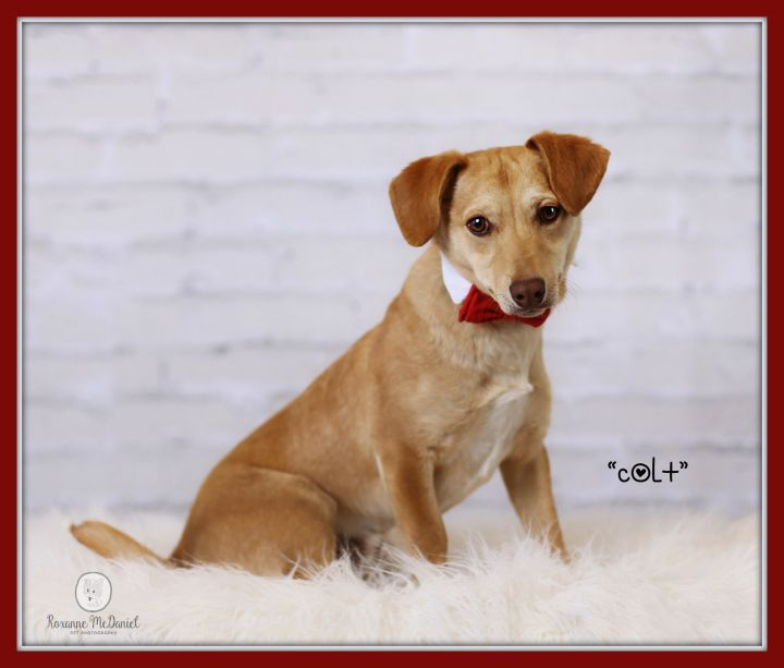 Dog For Adoption Colt A Dachshund Mix In Lubbock Tx Petfinder