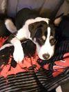 Border Collie Dog: Rocky
