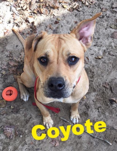Dog For Adoption Coyote A Labrador Retriever Pit Bull Terrier