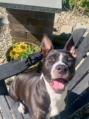 You can fill out an adoption application online on our official website Shelly a beautiful Pittie