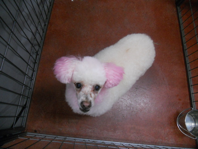 LuLu the Pink poodle