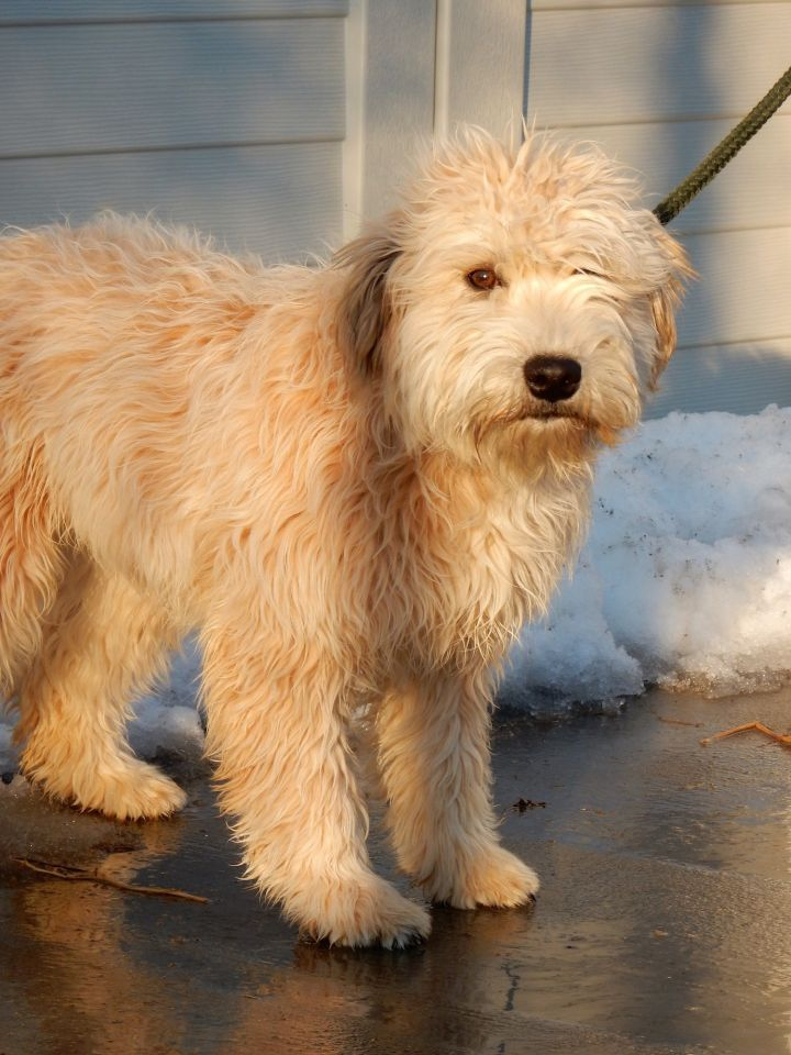 Katy, an adopted Wheaten Terrier in Long Beach, NY