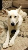 Great Pyrenees Dog: Ollie