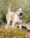 Bull Terrier Dog: Spot