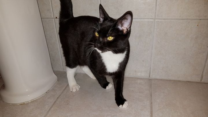 Morgan (SC), an adoptable Domestic Short Hair in Little Falls, NJ