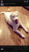 German Wirehaired Pointer Dog: Bentley