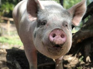 Heart is a large beautiful pig She loves to be around people and is well-behaved She may get alon