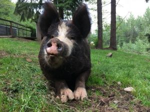 Ruby is a gorgeous 500 lb pig Ruby loves people and will follow you around the yard when you come