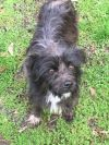 Cairn Terrier Dog: Pebbles