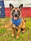 Belgian Shepherd / Malinois Dog: Casanova