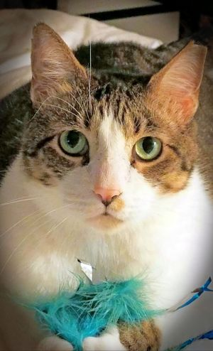 Beautiful sweet girl white with gray markings domestic shorthair a big kitty with a loving heart