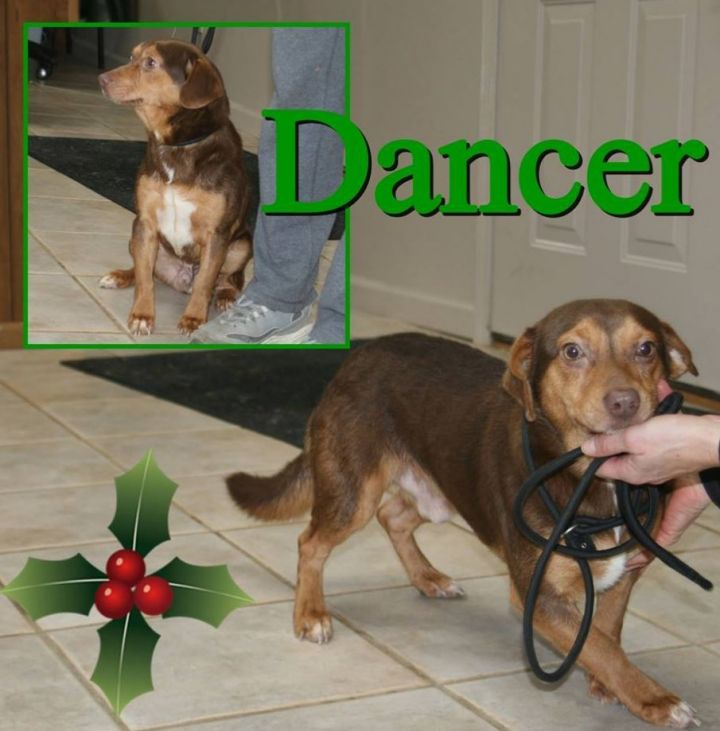 Dancer, an adoptable Beagle & Dachshund Mix in Monroe, GA
