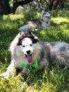 Siberian Husky Dog: Farley