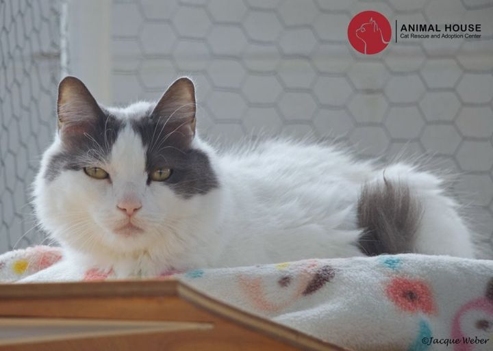 Clarissa, an adoptable Domestic Long Hair in St. Louis, MO