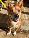Corgi Dog: Cleo