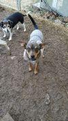 Manchester Terrier Dog: Princess