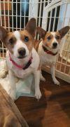 Corgi Dog: Kit and Emmy