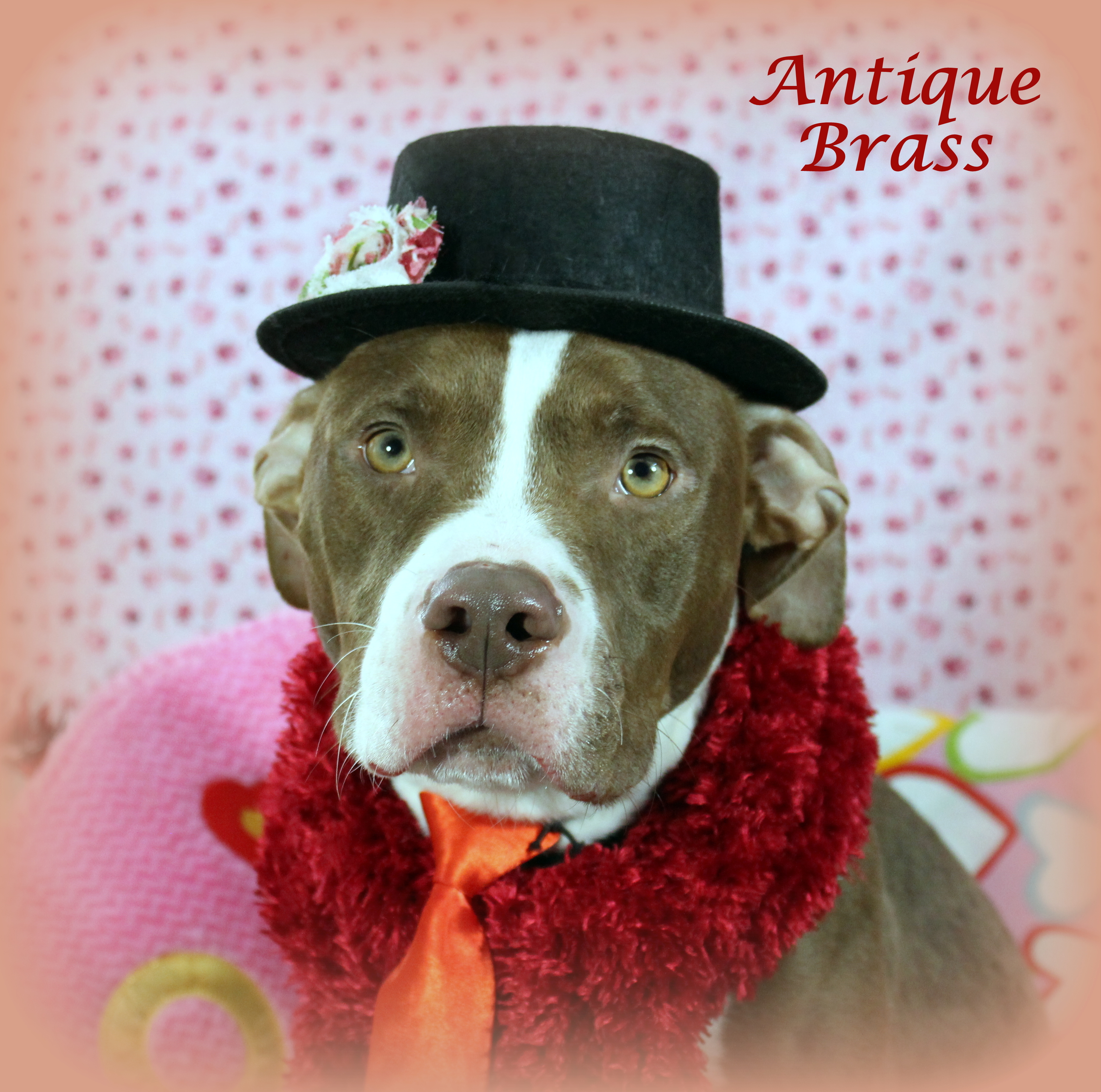 Antique Brass (Gentle & Loving Boy, Good with Kids & Submissive with Dogs)
