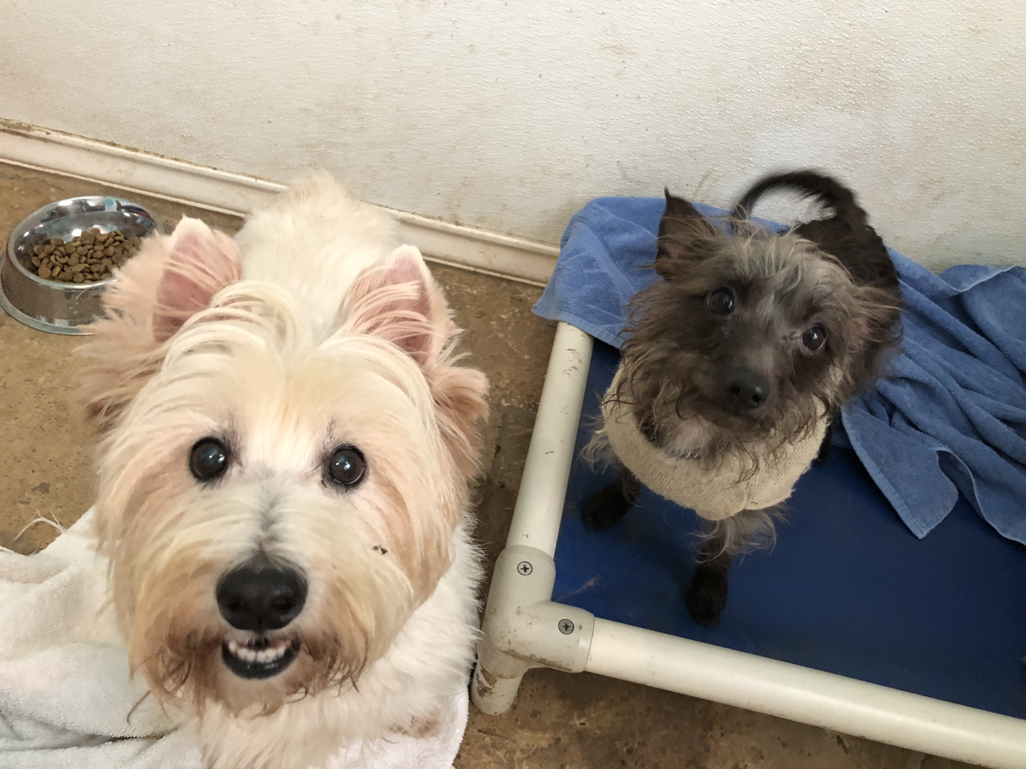 Dog for Adoption – Olaf  | Cairn Terrier Puppies Houston Texas