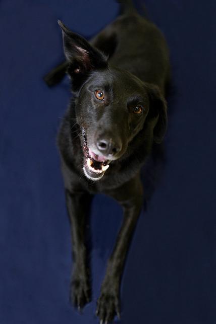 Dog for adoption - Max B , a Black Labrador Retriever & Golden