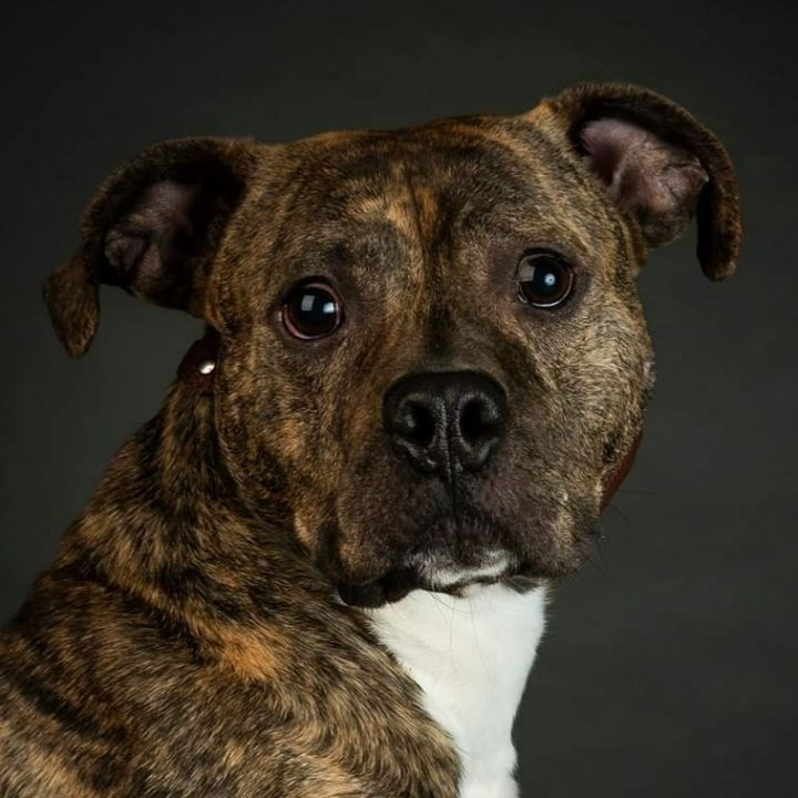 Boston, an adoptable Pit Bull Terrier Mix in Bloomington, IL