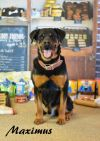 Rottweiler Dog: Maximus (goldstein)