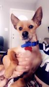 Chinese Crested Dog Dog: Brownie