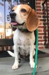 Beagle Dog: Connie