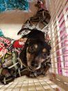 Chihuahua Dog: Milo