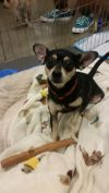 Miniature Pinscher Dog: Scout