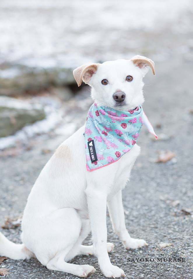 ... NY Timmy & Mary, an adoptable Jack Russell Terrier Mix in Cortlandt Manor, ...
