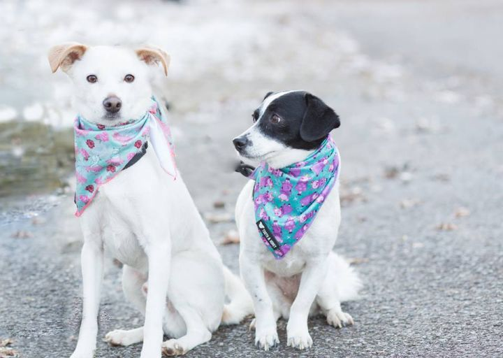 Timmy & Mary, an adoptable Jack Russell Terrier Mix in Cortlandt Manor, NY ...