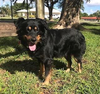 Dog for adoption - Chip, an Australian Shepherd & Border