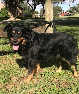 Chip, an adoptable Australian Shepherd & Border Collie Mix in Davie, FL