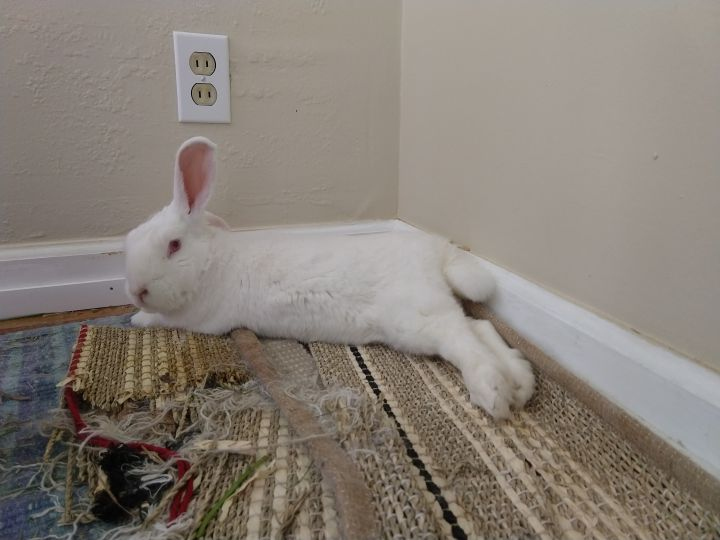 Teddy, an adopted Bunny Rabbit Mix in Richmond, CA