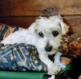 Dog For Adoption Patches A Yorkshire Terrier Maltese Mix In