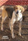 Foxhound Dog: Garnet