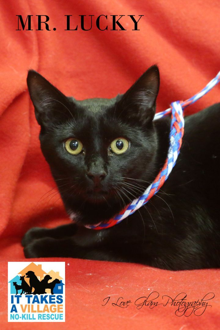 Mr. Lucky, an adopted Domestic Medium Hair Mix in Evansville, IN